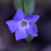 Kleines Immergruen (Vinca minor)) (6754)
