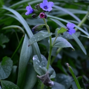 Lungenkraut (Pulmonaria officinalis) (6808)
