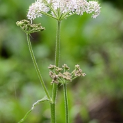 Wiesenkerbel (Anthriscus sylvestris) (8945)