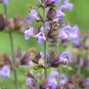 Salbei (Salvia officinalis) (0152)