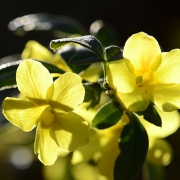 Winterjasmin (Jasminum nudiflorum)