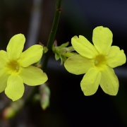 Winterjasmin (Jasminum nudiflorum) (3360)