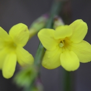 Winterjasm (Jasminum nudiflorum)